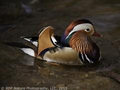 Wood & Mandarin Ducks